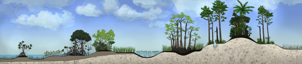 Everglades ecosystem cross-section drawn by graphic artist Nate Shaw for 'Everglades Mountains & Valleys'.