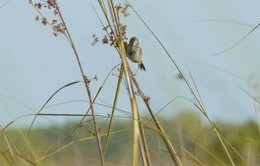 Deer Hammock Wildfire and Cape Sable Seaside Sparrow