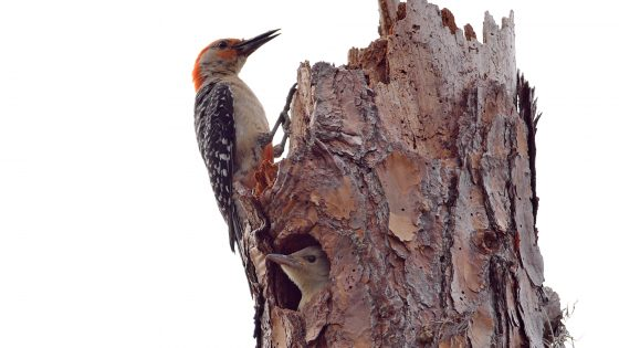 Red-bellied Woodpecker Ode to Fathers